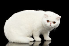 Unusual Pure White Exotic Cat, Red Eyes, Isolated Black Background Royalty Free Stock Photo