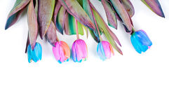 Unusual rainbow tulips for border or frame Stock Photography