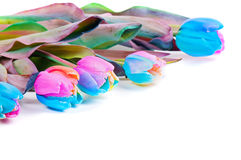 Unusual rainbow tulips on white Royalty Free Stock Image