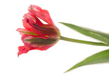 Unusual red bicolor tulip. Unusual bright red tulip on green stem with leaves isolated on a white background horizontal Stock Photo