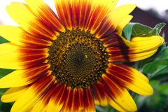Unusual red and yellow decorative sunflower stock photography