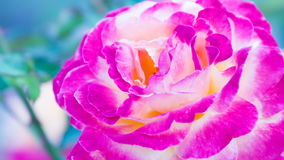 Unusual a Rose Bud. Unusual colors bud roses swaying in the breeze stock video footage