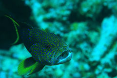 Unusual saltwater fish Stock Photography