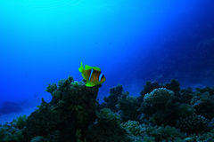 Unusual saltwater fish Royalty Free Stock Images