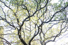 Unusual shape of the tree Stock Photography