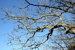 Unusual shape of the tree Royalty Free Stock Photo