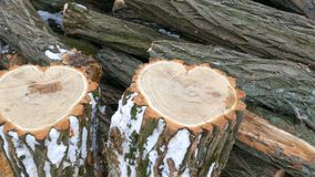 The unusual shape of tree trunk in the shape of a heart, St. Valentine`s Day