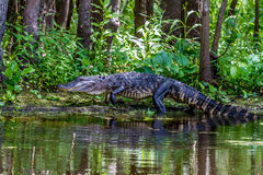 An Unusual Shot of a Large American Alligator (Alligator mississippiensis) Walking on a Lake Bank in the Wild Royalty Free Stock Photo