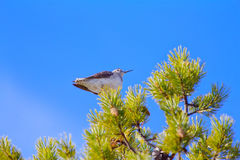 Unusual situation - marsh Sandpiper sits on top of pine tree Stock Images