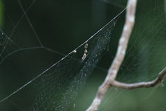 Unusual Spider Egg Stock Photography
