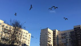 Unusual storm of birds in St. Petersburg, Russia. ST. PETERSBURG, RUSSIA - APRIL 18, 2017 - Unusual amount of birds flying over a suburb in the cultural capital stock video