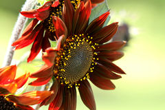 Unusual sunflower or Helianthus, red or orange Royalty Free Stock Photo