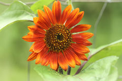 Unusual sunflower or Helianthus, red or orange Royalty Free Stock Photography