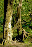 Unusual tree formation Stock Images