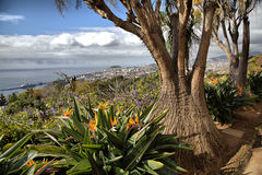 Unusual tree in Madeira Botanical Garden Royalty Free Stock Photography