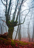 Unusual tree in the misty autumn forest Stock Photo