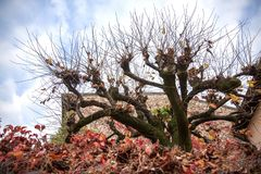 Unusual tree in Sirmione. Autumn motive stock photography