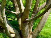 Bare tree in bizarre growth form royalty free stock photos