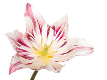 Unusual tulip on a white background Royalty Free Stock Image