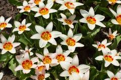 Unusual tulips. Stock Photo