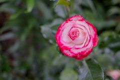 Unusual variety of variegated red and white rose flower with closely packed petals.A rare variety of pink white striped Stock Photography