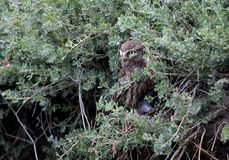 Unusual view on adult little owl Stock Image