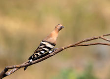 Unusual view on hoopoe. Stock Images