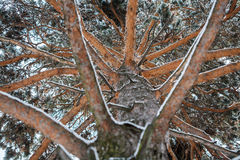 Unusual view of winter pine tree, from bottom to top Stock Photos