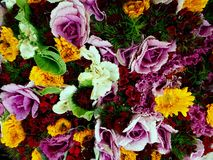 Unusual Vivid Ornamental Cabbages with Colourful Flowers. Royalty Free Stock Image