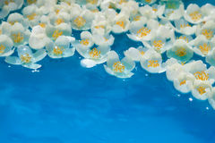 Unusual water flowers. White jasmin flowers in blue water. Used optical star filter Stock Photo