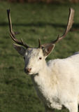 Unusual white Fallow deer. Royalty Free Stock Photos