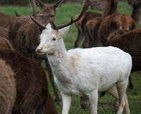 Unusual white Fallow deer. Stock Images