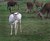 Unusual white Fallow deer. Stock Image