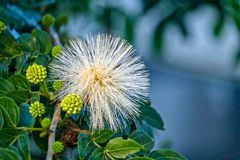 Unusual White Flower looks like fireworks found in Sanibel, Florida Royalty Free Stock Images