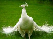 Unusual white peacock Stock Photo