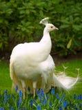 Unusual white peacock Royalty Free Stock Photo