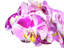 Unusual white with purple  flowers of orchid,   phalaenopsis Royalty Free Stock Photos