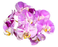 Unusual white with purple  flowers of orchid,   phalaenopsis Royalty Free Stock Image