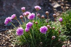 Unusual wild pink flowers in the mountains Stock Image