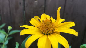 Unusual yellow flower grows near wooden fence stock video footage