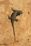 Unusually Dark Colored Lizard Stock Photos