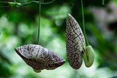 Unusually shaped flowers hanging from a vine royalty free stock image
