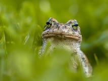 Unverschämte grüne Kröte im Gras Stockbild