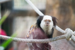 Unverschämter Affe Stockfoto