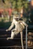 Unverschämter Affe auf Zaun Lizenzfreies Stockbild