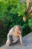 Unverschämter Affe an Uluwatu-Tempel, Bali, Indonesien Lizenzfreies Stockbild