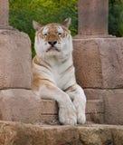 Unverschämter Tiger, der heraus Zunge haftet Lizenzfreie Stockfotografie