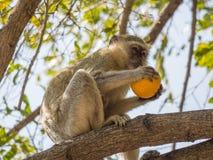 Unverschämter vervet Affe oder Chlorocebus-pygerythrus, das im Baum sitzt und gestohlene Orange, Kaokoveld, Namibia, Afrika isst Lizenzfreie Stockfotos