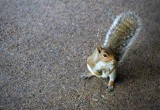 Unverschämtes Eichhörnchen   lizenzfreies stockfoto