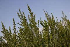 Unverwüstliche Blätter Stockfoto